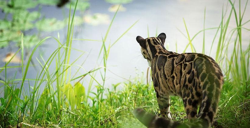Леопард в Национальном парке Кхао Яй
