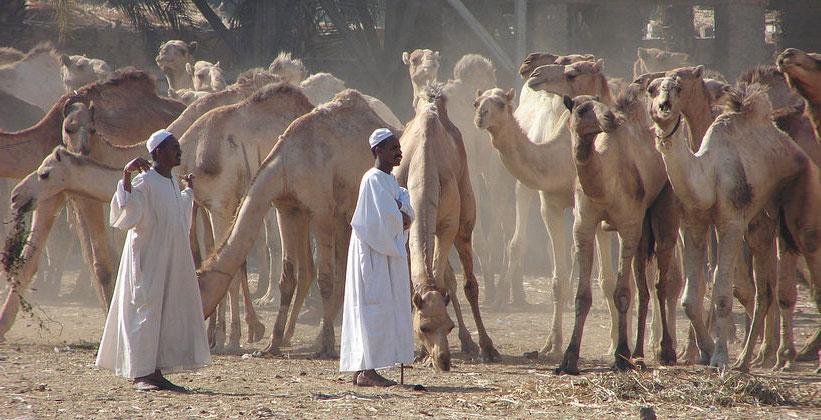 Рынок верблюдов в Дарау