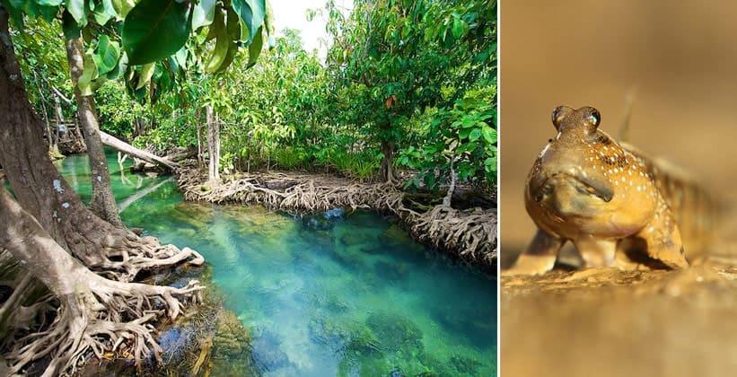 Мангровые деревья и прыгучая рыба Boleophthalmus в Таиланде