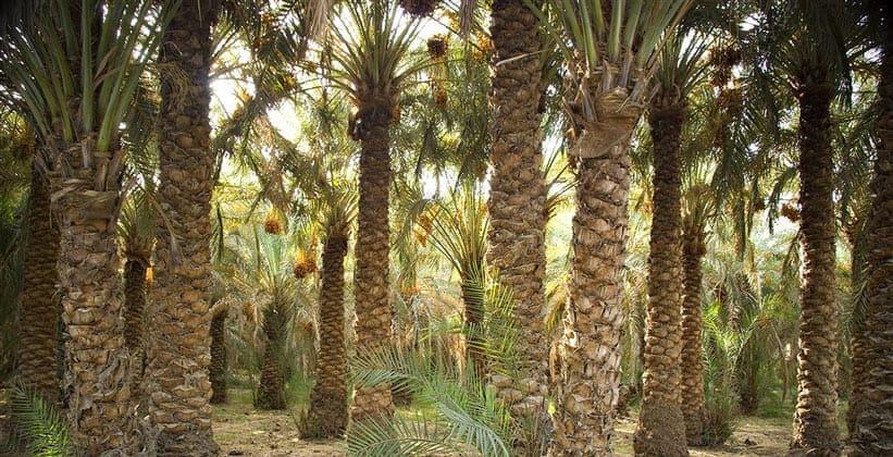 Финиковые пальмы (оазис Бахария) в Египте