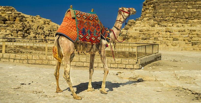 Туристический верблюд в Египте