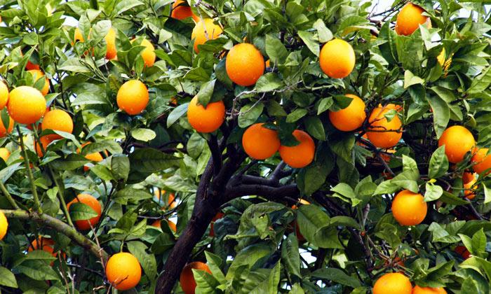 Апельсины Финике