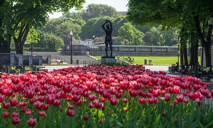 Тюльпаны в парке Горького Москвы