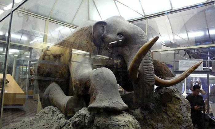 Чучело мамонта в Зоологическом музее Санкт-Петербурга